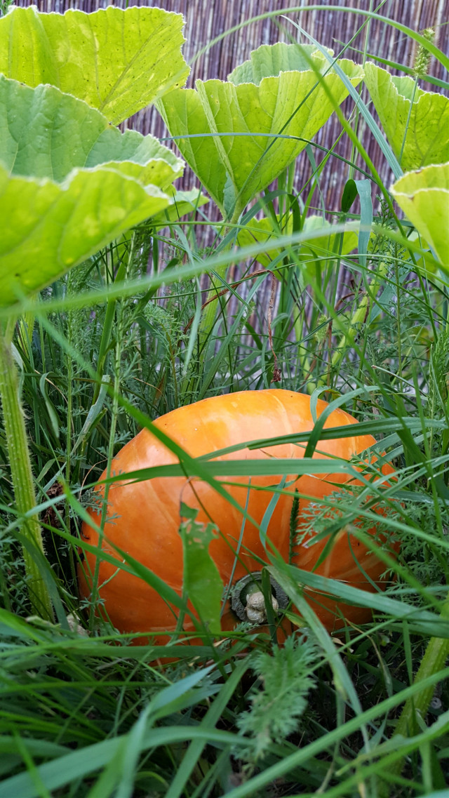 #bunia0914 #myphoto #myoriginalphoto #myclick #naturephotography #garden #mygarden #summer #garden #mygarden #summer #summertime #nature #plant #plants #vegetables #pumpkin #grass #green #orange #beautifulday #happyday