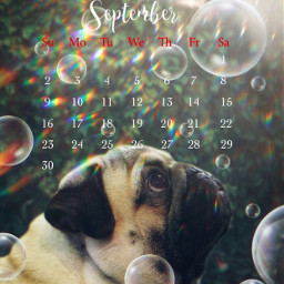 dog september calendar bubbles prisma pug ftestickers madewithpicsart picsarteffects