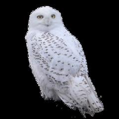 owl eule animal tiere wildlife uhu nature white freetoedit