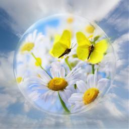 butterflies daisyflower sky myedit