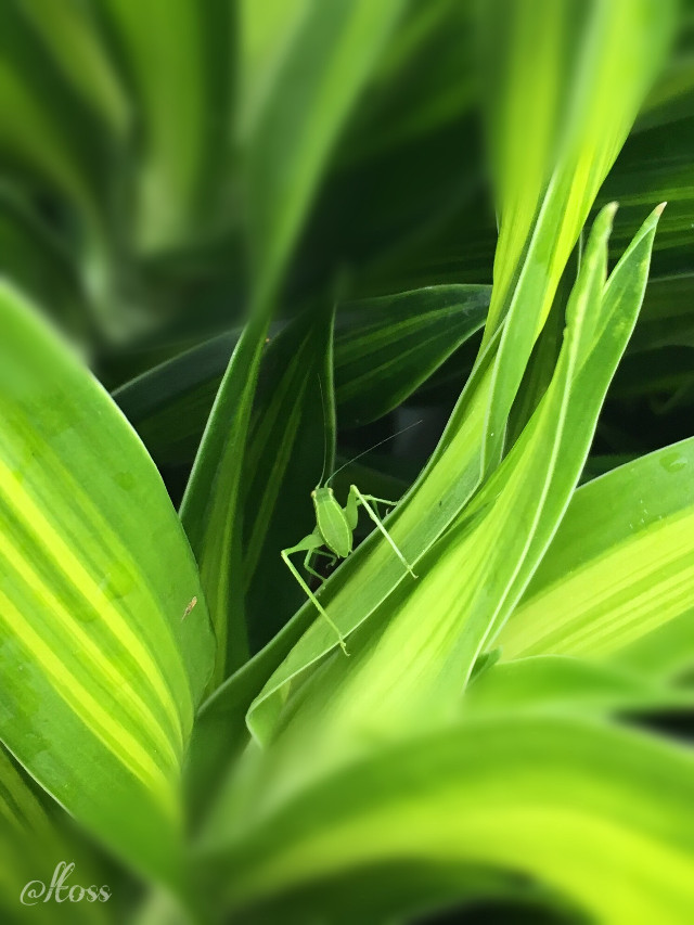 Wanted to go unnoticed...#freetoedit #insect #myphotography #green #leaves #nature #faunayflora #florayfauna #PuertoRico #template #wallpaper #background #heypicsart #macro #makeawesome