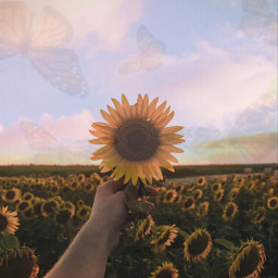 art voteme sunset sunflower wallpaper smallaccount smallaccountbigdreams france italy japan california beach idol party travel sky photography ircsunflowerinmyhand sunflowerinmyhand freetoedit