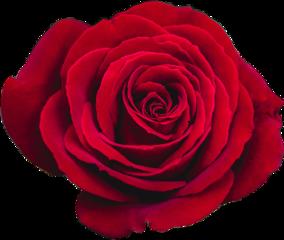 rose rosepetals flower edit random retro editing picsart picture flowers red redaesthetic aesthetic grunge fanartofkai fanedit editedbyme square circle girl pictureoftheday sunday summer clown freetoedit