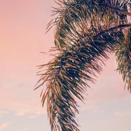 freetoedit earlyinthemorning nature sunrise palmtree palmleaves skyandcloudsbackground pinksky beautifulsunriselight naturephotography