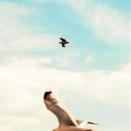 nature birds seagulls birdsflyinghigh gulls freetoedit
