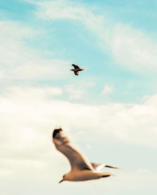 #nature #birds #seagulls #birdsflyinghigh #gulls #seagullsinflight #blueskyandclouds #foregroundblured #naturephotography                                                         #freetoedit