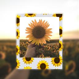 ircsunflowerinmyhand sunflowerinmyhand freetoedit