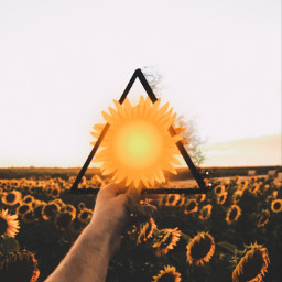 freetoedit sunflower picsart vote4me yellow ircsunflowerinmyhand sunflowerinmyhand