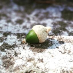 bellota fruit fruta naturaleza naturelovers simple simplicity acorn freetoedit