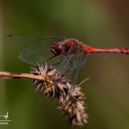 freetoedit photography dragonfly insect nature