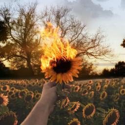 myedit sunset madebyme araceliss freetoedit ircsunflowerinmyhand sunflowerinmyhand