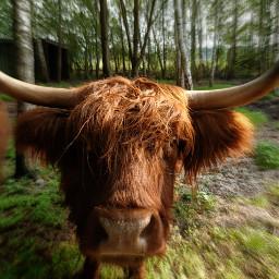 kinora cow atmysisters freetoedit