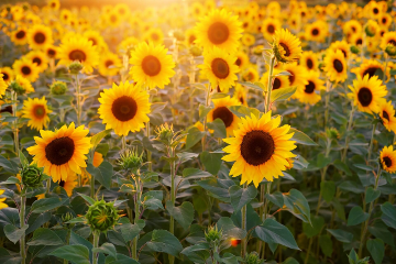 freetoedit picsart remixit sunflower