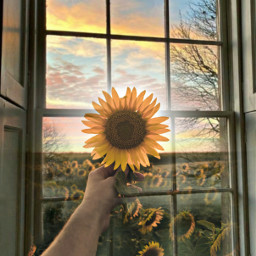 freetoedit ircsunflowerinmyhand sunflowerinmyhand