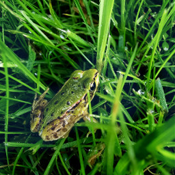 petsandanimals frog grass green greenery raindrops beautifulday beautifulnature myphoto freetoedit