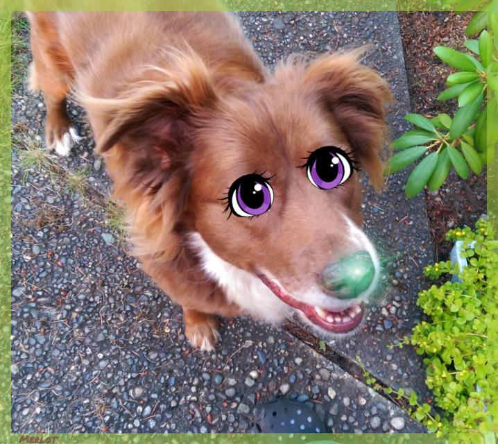 #myentry #myedit #mylove #cartoon #cartooneyes #pet #pets #petsandanimals #dog #dogs #dogsofpicsart #cute #toller #ducktoller #beautiful