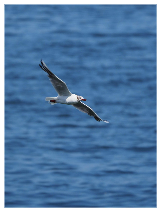Gone with the wind.....   #seagull #balticsea #ocean #bird #flying