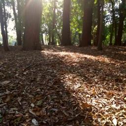 myphoto nature background shadow sunshine beautiful trees park day leavesontheground leaves freetoedit pcleavesisee leavesisee