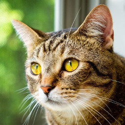 freetoedit art interesting cat pet eyes nature beautiful photography