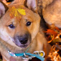 fallingleaves shibainu fallcolors dog pcleavesisee leavesisee