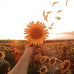 sun sunny bokeh sunlight day flower sunflower magic magical orange yellow bright vibrant nature colors colorful edit myedit pretty beauty beautiful sparkles light lights effect freetoedit