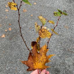 laurakozmus autumn picsart picsartchallenge picsartchallengeautumn pcleavesisee leavesisee