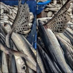 flyingfish fish freetoedit