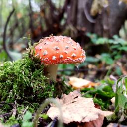 nature mushroom forest beautifulnature myphoto myclick autumn freetoedit