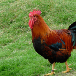 photography myphoto rooster colorful grass freetoedit