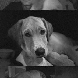 dog labrador freetoedit