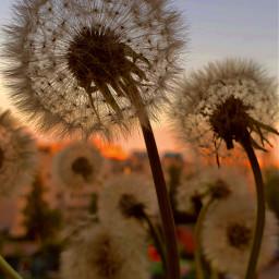 sunset pcgoldenhour goldenhour sankt dandilions