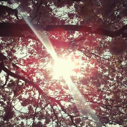 flower sun pcgoldenhour goldenhour