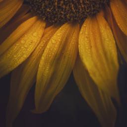 freetoedit remixit flower drops autumn summer naturelover sunflower rain