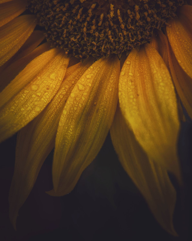 The last flower🧡🌻🌸 #freetoedit #remixit #flower #drops #autumn #summer #naturelover #sunflower #flower #rain