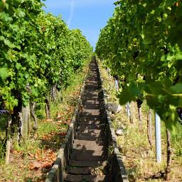 freetoedit stairway wine green grapes