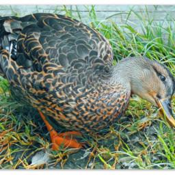 myphotography animal wildlife bird duck mallard mallardduck foraging inthegrass beautyinnature paint bordered edit