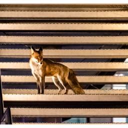 wildlife city fox. animals wildanimals nature freetoedit fox