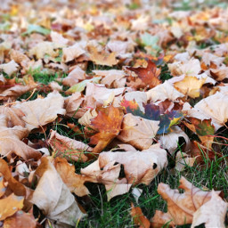 freetoedit dry leaves autumn fall