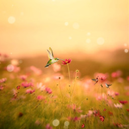 freetoedit beautifuledit colibries colibri campodeflores