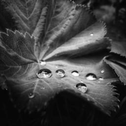 freetoedit nature photography blackandwhite waterdrops pcblack