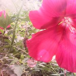 first firstedit firstpicsart firstpost firsttimer flower big bigflower beginner new bigredflower bigpinkflower redflower pinkflower open beautiful beautifulflower nature green pink red freetoedit