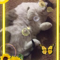 cat old oldcat 3rdedit edit yellow aesthetic yellowaesthetic kitty kittycat cute sassy posing freetoedit