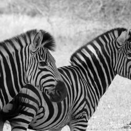 zebra southafrica krugernationalpark pcblack&whitenature black&whitenature