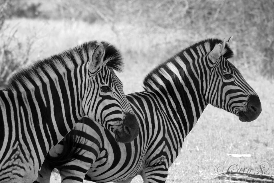 #zebra #southafrica #krugernationalpark