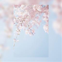 flowers cherryblossoms