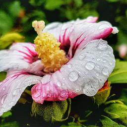 hibiscus flower watercolor waterdrops