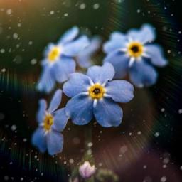 freetoedit replay picsart forgetmenot flower happy nature macro naturelover