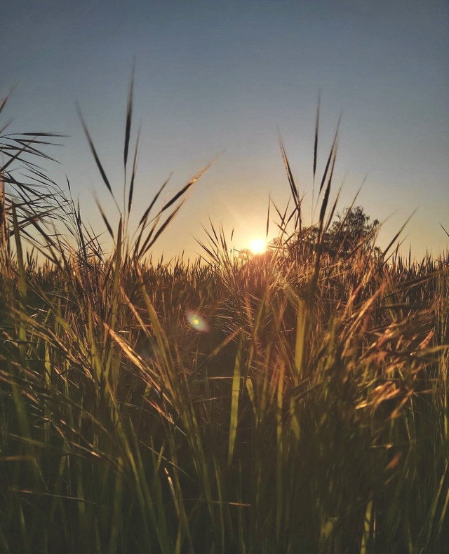 #nature #morninglight #countryside #morningwalk #sunrise #wildplants #grass #beautifulsunriselight #sunflare #freshmornings #lowangleshot #naturephotography                                                                                                   #freetoedit