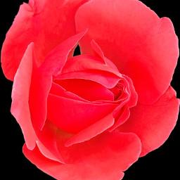 freetoedit myphoto flower flowerphotography flowerlover naturelover nature picsartshoutout