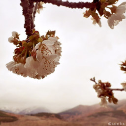 freetoedit spring flordecerezo pcprimavera primavera